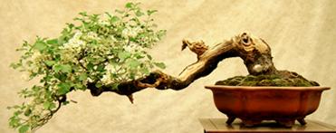 l entretien du bonsa tout un art pour entretenir son petit arbre des nouvelles du web. Black Bedroom Furniture Sets. Home Design Ideas