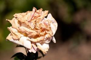 rose abimée