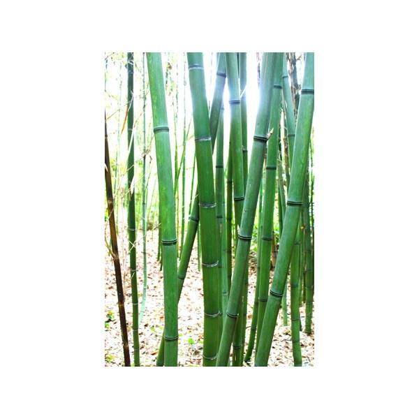 Tige de bambou entretien id es de for Bambou interieur entretien