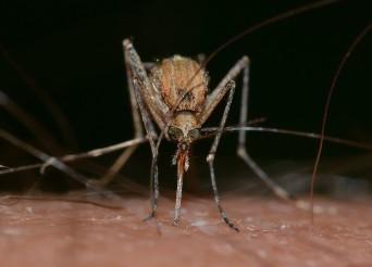moustique sur la peau