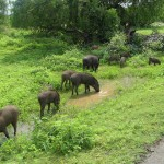 Des sangliers au Sri-Lanka