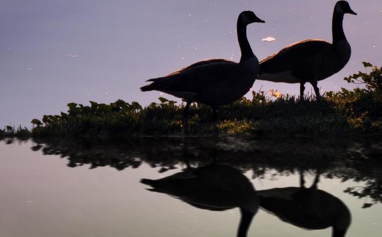 Deux oies gambadant au bord d'une rivière ou lac.