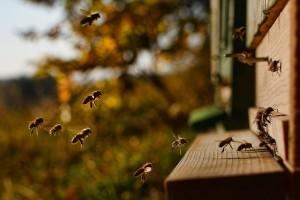 Ruche prise de proche ayant de nombreuses abeilles qui arrivent.